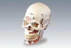 10分割 頭蓋骨