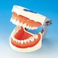 補綴修復用顎模型 [D18FE-500A-QF]