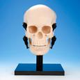 顎機能頭蓋骨模型 [P10-SB.20]