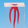 歯根管模型 [S1(染色なし), S2(染色あり)シリーズ]