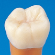 解剖学的単根模型歯 [B1A-004]