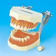 複製歯牙着脱模型 [i21D-400C]
