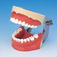 浸潤麻酔用顎模型 [P6FE-OOP.4]
