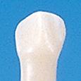 単根模型歯 乳歯(ネジなし) [A8-SW.K.12]