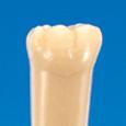 単根模型歯 永久歯 [A1A-SW.K.10]