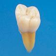 複製根模型歯 [B3-305]
