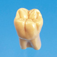 2倍大模型歯 [C12-AT.1A]