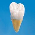 2.5倍大複製根模型歯 [B10-330]